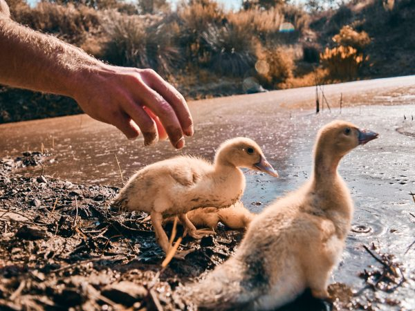 Der Tag der freien Enten